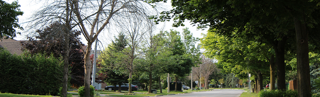 Emerald ash borer infested trees