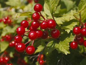 American Cranberry