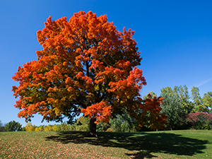 Sugar Maple Tree in Fall