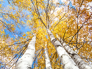 Image of white birch trees in the fall